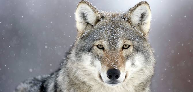 Esemplare di lupo