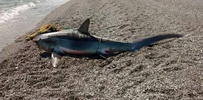 Lo squalo pescato nel Catanzarese