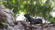 Lo scoiattolo meridionale
