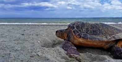 Una tartaruga caretta caretta sulla spiaggia