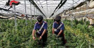 Sellia, scoperta maxi piantagione di marijuana: un business da milioni di euro