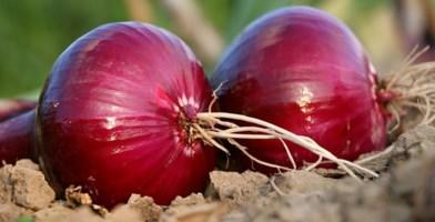 L'acqua per la cipolla costa troppo: è scontro agricoltori-Consorzio nel Vibonese