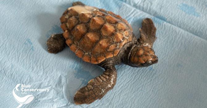 Blue, la piccola tartaruga salvata (foto dal sito del Centro di Brancaleone)