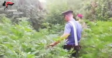 San Ferdinando, scoperte oltre 1500 piante di marijuana: tre arresti