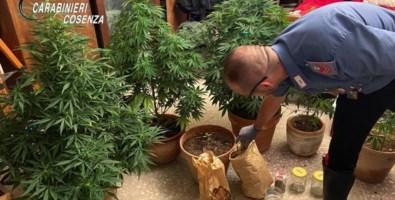 Coltivava marijuana sul balcone: in manette un 67enne nel Cosentino