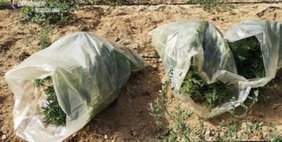 La marijuana scoperta dai carabinieri a Stilo