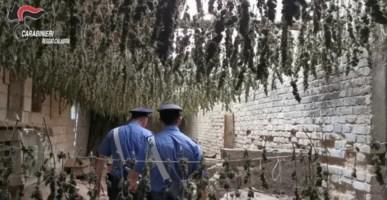 Taurianova, scoperto in un capannone essiccatoio con 7mila piante di marijuana