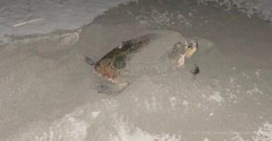 Spettacolo a Nocera, mamma tartaruga depone le uova in spiaggia: il video