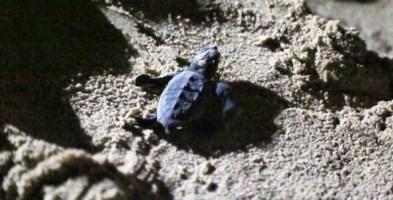Belvedere Marittimo, tartarughe appena nate salvate dai residenti: attirate dalle luci delle case