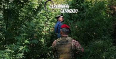 Scoperte e distrutte due piantagioni di marijuana nel Catanzarese