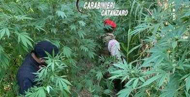 Tiriolo, scoperte e distrutte altre due piantagioni di marijuana