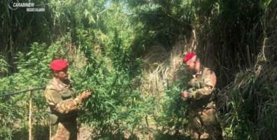 Scoperta piantagione di marijuana a Oppido: avrebbe fruttato 250mila euro