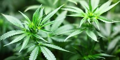 Curinga, rinvenute 2mila piante di marijuana: un arresto