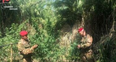 Piantagione di marijuana nel Reggino