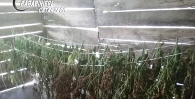 Essiccava marijuana nella sua azienda agricola: un arresto nel Lametino