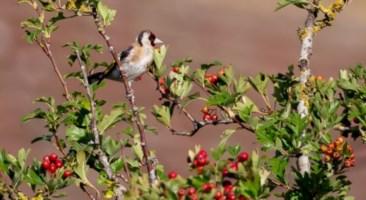 Cacciavano illegalmente specie protette: un arresto e due denunce nel Reggino