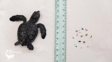 Pesa solo 17 grammi, ma il suo stomaco era pieno di plastica: salvata tartaruga
