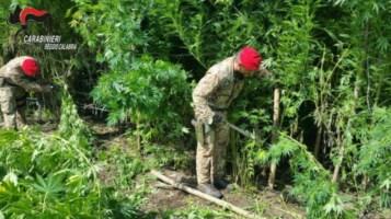 Coltivano e raccolgono marijuana nel Reggino, arrestate quattro persone