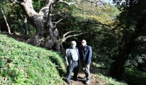 Il platano millenario di Curinga conquista il premio Albero dell'anno