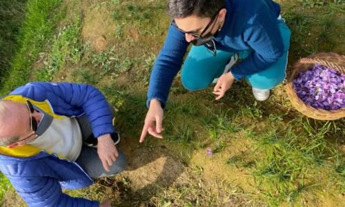 In Calabria è tempo di zafferano, in un'azienda del Cosentino inizia la raccolta