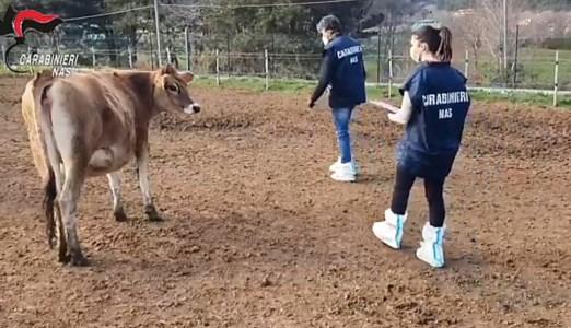 Macellazione clandestina, le intercettazioni degli arrestati: «Tu ti vendi i vitelli... e poi viene Gratteri!»