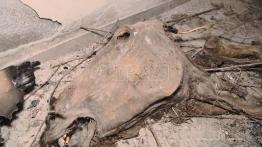La carcassa del cavallo all'interno dell'ospedale di Rosarno