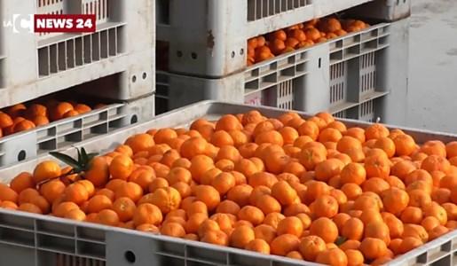 Rosarno, crisi agrumicola: il Consiglio comunale chiede aiuto al Governo