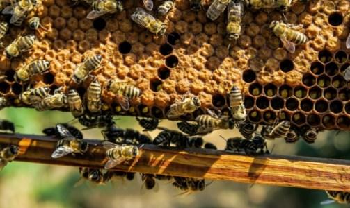 Apicoltura, la Regione stanzia 450mila euro per aiutare i produttori di miele