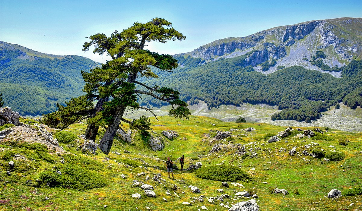 Il pino loricato, albero simbolo del Parco nazionale del Pollino