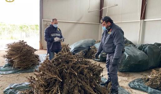 Castrovillari, sequestrate oltre 3mila piante di cannabis sativa non a norma