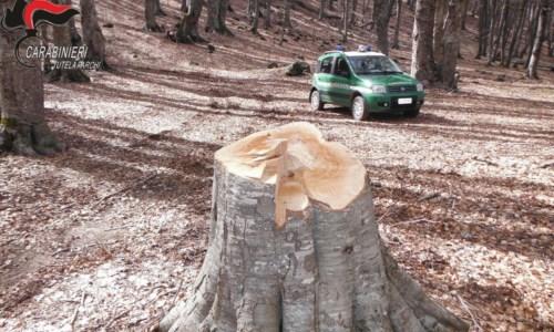 Sorpresi ad abbattere un faggio nel Parco della Sila: due denunce