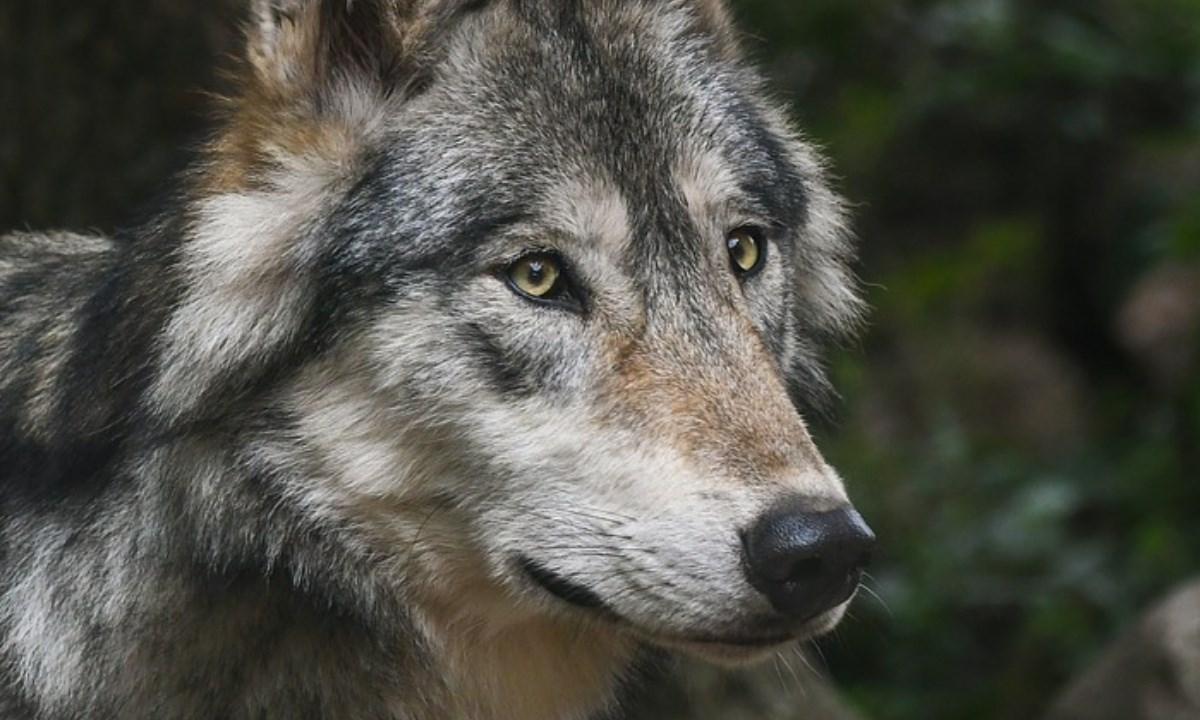 Esemplare di lupo, foto pixabay
