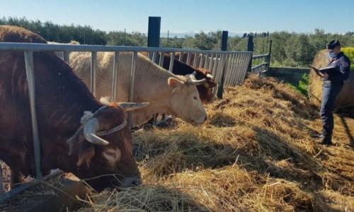 Blitz della Forestale in una azienda zootecnica nel Cosentino: denunciato proprietario
