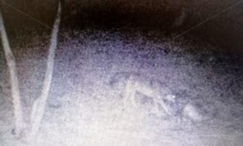 Allarme lupi, gli allevatori: «Attaccano e uccidono il bestiame, servono ristori»