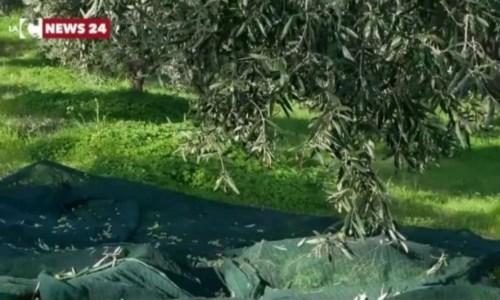 Corigliano Rossano esclusa dai fondi agricoli dell'area svantaggiata: protesta dei produttori