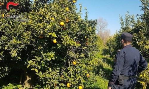 Sibaritide, sequestrati agrumeti sulle sponde del fiume Crati: 4 denunce