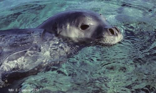 Foca monaca nel mare crotonese, l'Amp: «Potrebbe essere l'esemplare avvistato nel 2004»