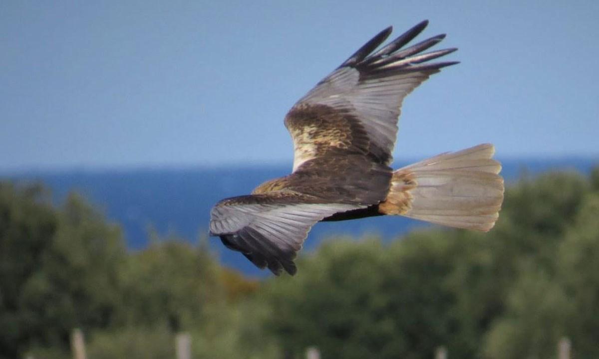 Un falco di palude (foto di Eugenio Muscianese)