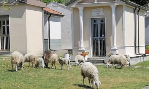 Falerna, facevano pascolare le loro pecore al cimitero: deferite due persone