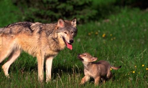 Anche le guide del Parco dell'Aspromonte sulle tracce del lupo per il monitoraggio nazionale