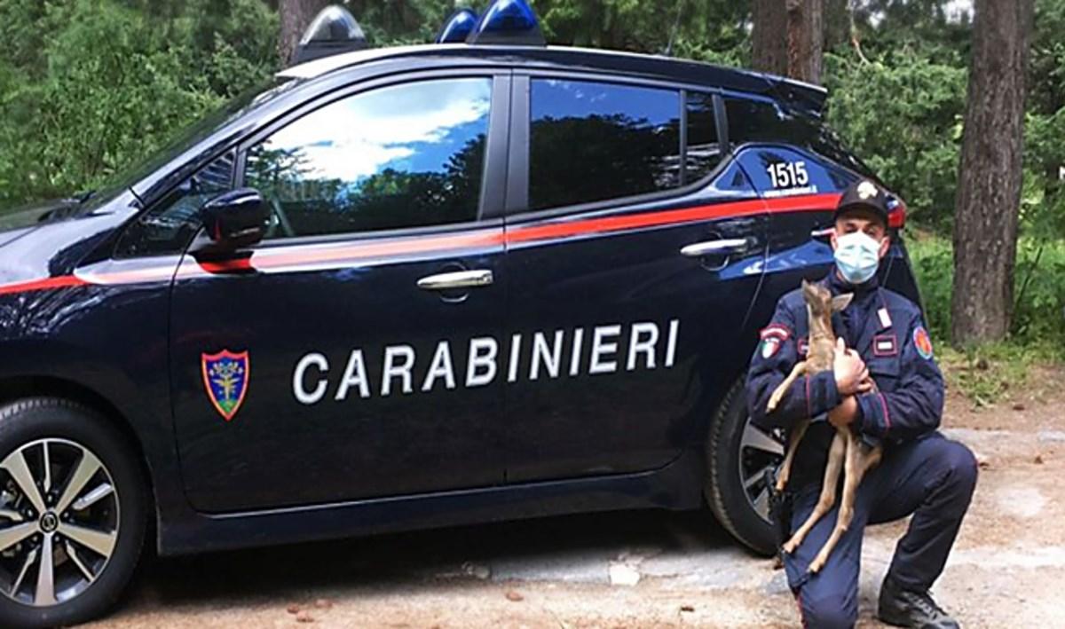 Cucciola di capriolo salvata in Sila: rischiava di essere investita dalle auto o ferita dai randagi