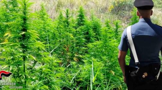 Piantagioni di marijuana a Bovalino, arrestati due giovani