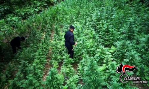 Produzione e spaccio di droga nel Reggino: un arresto, una denuncia e 125 piante di marijuana sequestrate