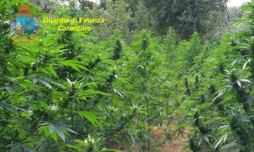 Maxisequestro di droga nel Catanzarese: rinvenute oltre 3mila piante di marijuana