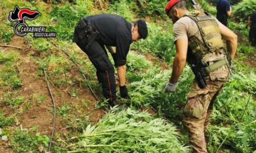 Oltre 1200 piante di marijuana scoperte e sequestrate nei boschi del Reggino