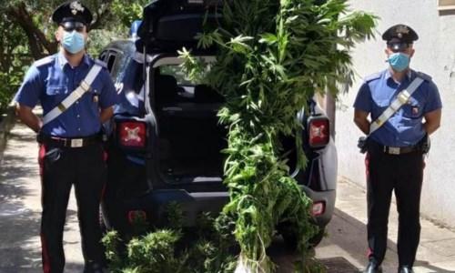Coltivava marijuana tra gli ortaggi di stagione: arrestato 57enne nel Catanzarese