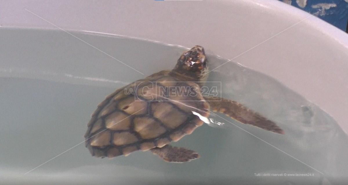 Tartaruga Marina Caretta Caretta al Centro Recupero di Brancaleone