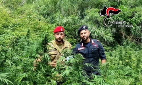 Contrasto alla drogaPiana Gioia Tauro, sequestrate e distrutte 4mila piante di marijuana nelle ultime settimane