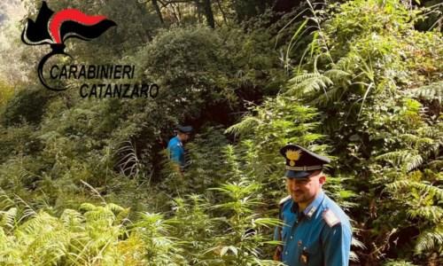 Sequestrate circa 100 piante di marijuana indica nel Catanzarese
