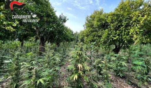 MaxisequestroRinvenute 10mila piante di marijuana nel Vibonese: arrestato 57enne